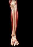 Lower Legs Muscles Anatomy