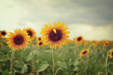 beautiful landscape with a field of sunflowers and cloudy sky at