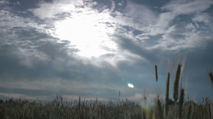 idyllic wheat field track and pan