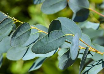 Eukalyptus - Medizin