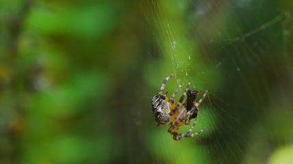 Spider immobilize its prey.