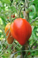 tomates coeur de boeuf