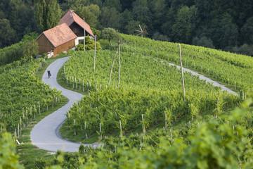 Slowenien, Špi_nik, erwachsener Mann Radfahren durch Weinberg