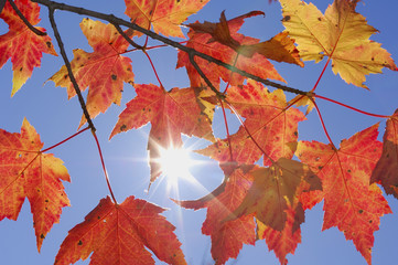 USA, New England, Ahornblätter gegen den blauen Himmel