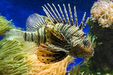 Feuerfisch (Pterois) und Korallen