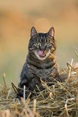 Katze im Heu