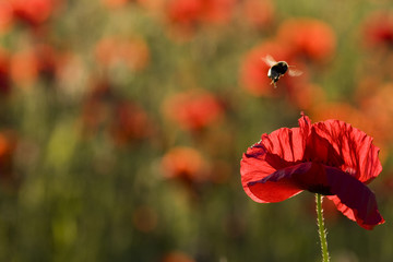Klatschmohn (Papaver rhoeas) und Hummel (Bombus fervidus), close up