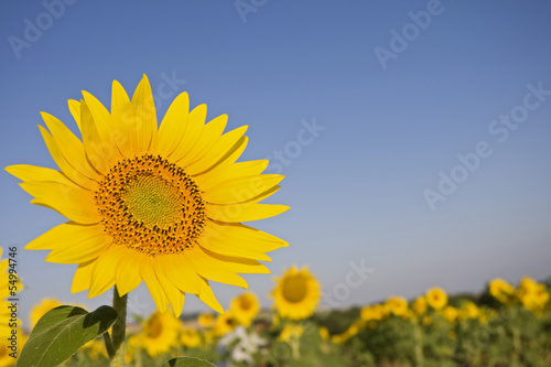 Italien, Toskana, Sunflower, close up