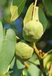 Walnut tree (Juglans regia) branch with fruit