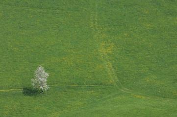 Schweiz, Kirschbaum im Feld