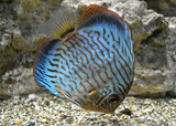 Discus for aquarium saltwater fish poster