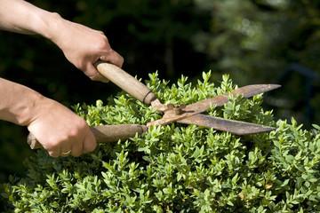 Deutschland, Baden-Württemberg, Stuttgart, Person trimmt Buchsbaum