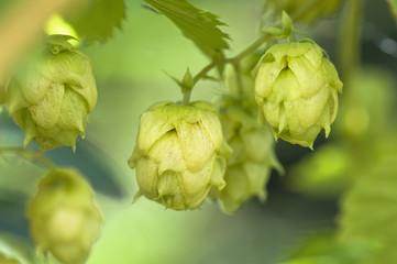 Österreich, Salzburger Land, Hop, (Humulus lupulus), close up