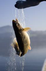 Österreich, Mondsee, Fisch in Fischernetz gefangen