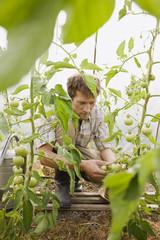 Mann im Gewächshaus kontrolliert Tomatenpflanzen