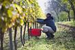 Kroatien, Baranja, Junger Mann Ernte der Trauben im Weinberg