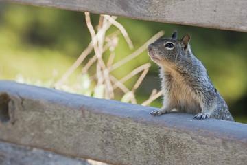 USA, Kalifornien, Beecheys Ground Squirrel (Spermophilus beecheyi)