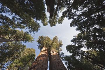 USA, Kalifornien, Giant Mammutbäume (Sequoiadendron giganteum)