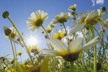 Spanien, Mallorca, Garland Chrysantheme (Chrysanthemum coronarium)