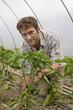 Mann bei Paprikapflanzen im Gewächshaus