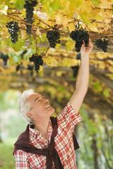 Italien, Südtirol, Erwachsene schauen Weintraube an
