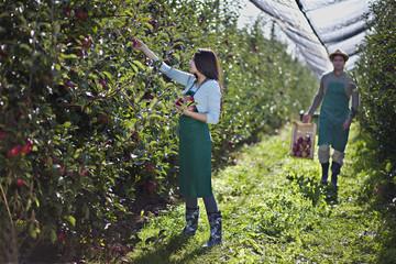 Kroatien, Baranja, Junge Frau pflückt Apfel, Mann mit Kiste Äpfel im Hintergrund