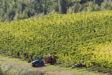 Italien, Toskana, Harvester im Weinberg
