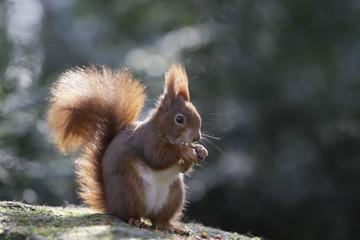 Deutschland, München, Close up eines Eichhörnchens, essend