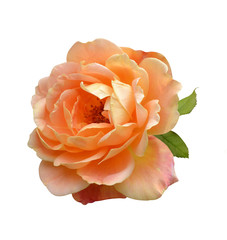 orange rose isolated on white background