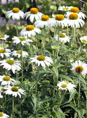 Echinacea purpurea, white swan also coneflower