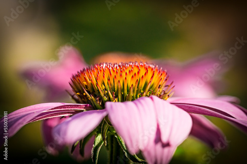 Inflorescence of Echinacea