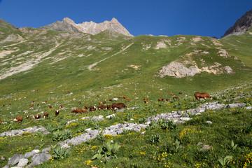 Troupeau de vaches brunes dans les alpages