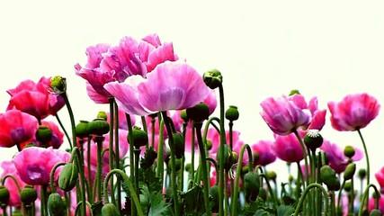 poppies fields