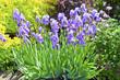 Blue iris in an garden.