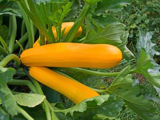 Zucchini - Cucurbita pepo