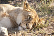 Lion at rest, yet vigilant