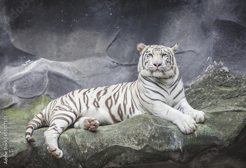 Poster Tijger WHITE TIGER on a rock