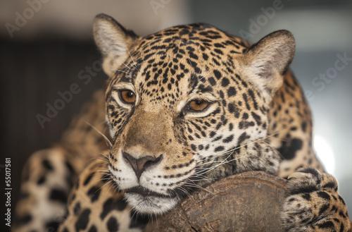 Fototapeten,leopard discus,tiger,wald,jaguar
