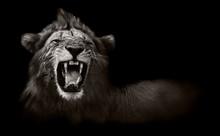 Lion affichage dents dangereuses