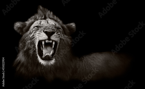 Foto op Canvas Zuid Afrika Lion displaying dangerous teeth