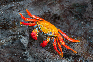 Sally lightfoot crab on a black rock.