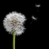 old dandelion and flying seeds isolated on black - 55027109