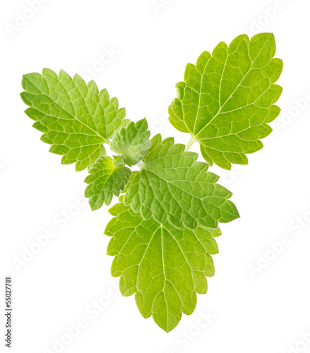 isolated fresh spearmint green leaves