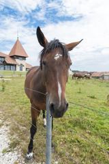 Saignelégier, Freiberge, Pferdezucht im Jura, Schweiz