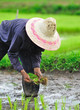 Thai farmer planting on the paddy rice farmland