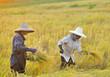 farmer in field, it's harvest time