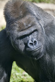 Side look of a silverback. Gorilla male observes his domain.