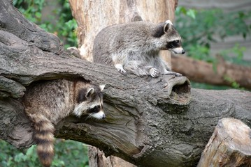 Raccoons at the zoo in Antwerp