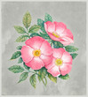 Watercolor illustration of dog-rose flower