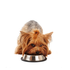 Yorkshire terrier with bowl
